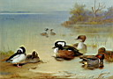 Oil painting reproduction of Buffel Headed Duck American Green Winged Teal And Hooded Merganser