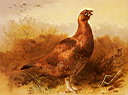 Oil painting reproduction of Cock Grouse